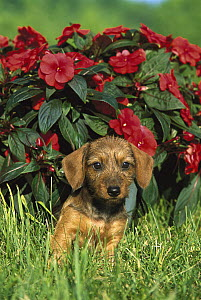 Miniature Wire-haired Dachshund (Canis familiaris) puppy sitting in green grass with red impatiens flowers - Mark Raycroft