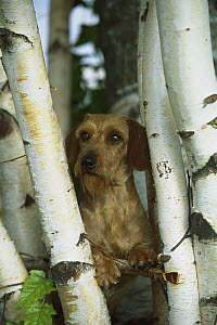 Miniature Wire-haired Dachshund (Canis familiaris) adult portrait among birch trees - Mark Raycroft