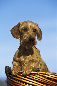 Miniature Wire-haired Dachshunds (Canis familiaris) portrait of adult in a basket - Mark Raycroft