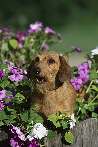 Miniature Wire-haired Dachshund (Canis familiaris) portrait of adult sitting among impatiens flowers - Mark Raycroft