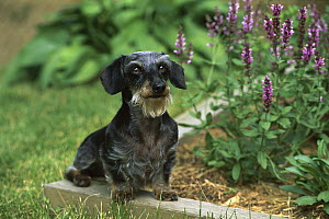 Miniature Wire-haired Dachshund (Canis familiaris) adult sitting in garden among green grass and flowers - Mark Raycroft