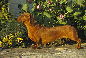 Standard Smooth Dachshund (Canis familiaris) adult standing on garden path lined with pansies - Mark Raycroft