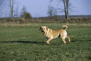 Yellow Labrador Retriever (Canis familiaris) playing fetch with a tennis ball - Mark Raycroft