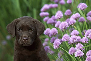 Chocolate Labrador Retriever (Canis familiaris) portrait of a puppy sitting next to blooming chives in herb garden  -  Mark Raycroft