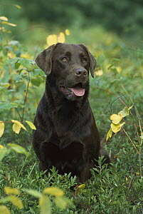 Chocolate Labrador Retriever (Canis familiaris) adult portrait  -  Mark Raycroft