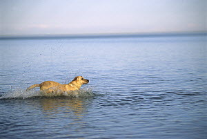 Yellow Labrador Retriever (Canis familiaris) running into a lake to retrieve a thrown toy - Mark Raycroft