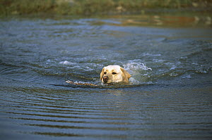 Yellow Labrador Retriever (Canis familiaris) adult swimming in water to retrieve stick - Mark Raycroft