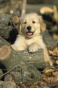 Golden Retriever (Canis familiaris) portrait of a puppy sitting among firewood logs  -  Mark Raycroft