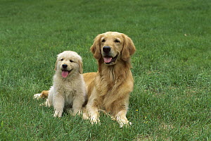 Golden Retriever (Canis familiaris) portrait of mother and puppy resting on green grassy lawn - Mark Raycroft