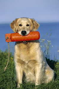 Golden Retriever (Canis familiaris) adult female dog with retrieving toy in mouth  -  Mark Raycroft