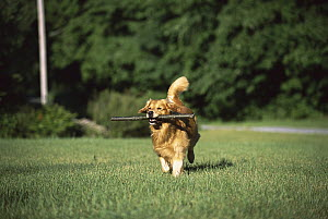 Golden Retriever (Canis familiaris) adult running with a large stick - Mark Raycroft