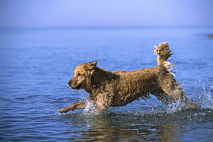 Golden Retriever (Canis familiaris) adult running into lake to fetch a toy - Mark Raycroft