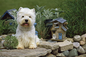 West Highland White Terrier (Canis familiaris) sitting in garden by birdhouse - Mark Raycroft