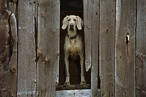 Weimaraner (Canis familiaris) looking out from barn - Mark Raycroft