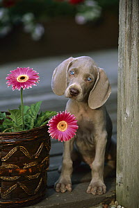 Weimaraner (Canis familiaris) puppy with blue eyes, head cocked curiously  -  Mark Raycroft