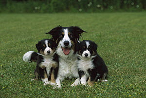 Border Collie (Canis familiaris) mother with two puppies - Mark Raycroft