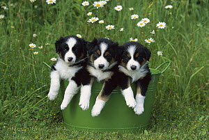 Border Collie (Canis familiaris) three puppies in metal bucket - Mark Raycroft