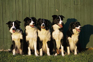 Border Collie (Canis familiaris) five adults sitting in a row - Mark Raycroft