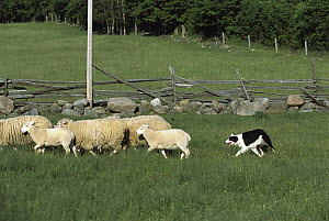 Border Collie (Canis familiaris) herding sheep in pasture - Mark Raycroft
