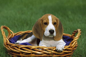Beagle (Canis familiaris) puppy in a basket  -  Mark Raycroft