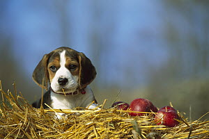 Beagle (Canis familiaris) portrait of puppy in straw with apples - Mark Raycroft