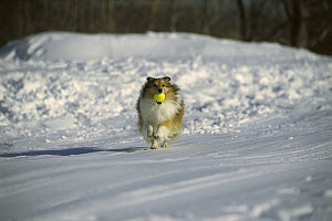 Shetland Sheepdog (Canis familiaris) adult fetching a ball in the snow - Mark Raycroft
