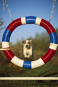 Jack Russell or Parson Terrier (Canis familiaris) adult jumping through agility tire  -  Mark Raycroft