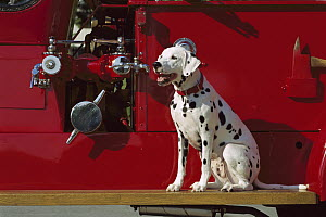 Dalmatian (Canis familiaris) on antique fire truck - Mark Raycroft