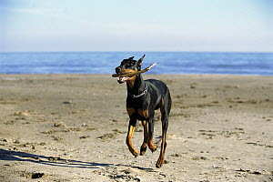 Doberman Pinscher (Canis familiaris) adult with clipped ears fetching stick at beach - Mark Raycroft