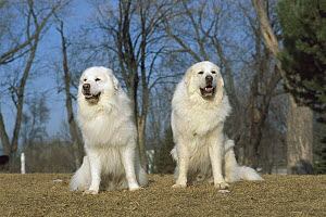 Great Pyrenees (Canis familiaris) pair of males  -  Mark Raycroft