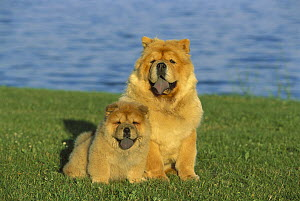 Chow Chow (Canis familiaris) mother and puppy sitting on lawn  -  Mark Raycroft