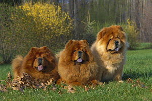 Chow Chow (Canis familiaris) three red chow chows sitting on lawn in the fall  -  Mark Raycroft
