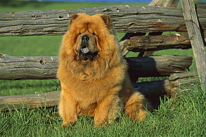 Chow Chow (Canis familiaris) portrait by wooden fence  -  Mark Raycroft