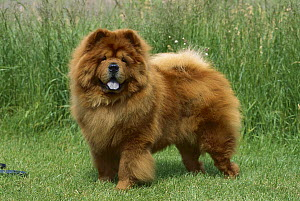 Chow Chow (Canis familiaris) red adult on lawn  -  Mark Raycroft