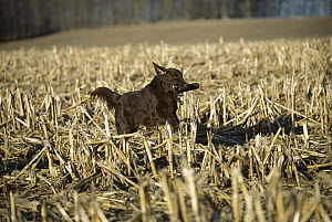Flat-coated Retriever (Canis familiaris) retrieving bumper in harvested corn field - Mark Raycroft