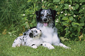 Australian Shepherd (Canis familiaris) mother and puppy laying on grass  -  Mark Raycroft
