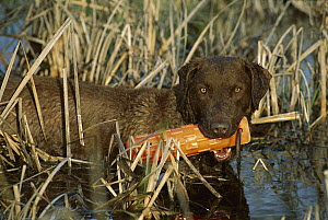 Chesapeake Bay Retriever (Canis familiaris) in wetland with bumper during training exercise - Mark Raycroft