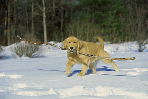 Golden Retriever (Canis familiaris) fetching big stick in snow - Mark Raycroft