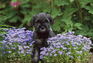 Standard Schnauzer (Canis familiaris) puppy amid forget-me-not flowers  -  Mark Raycroft