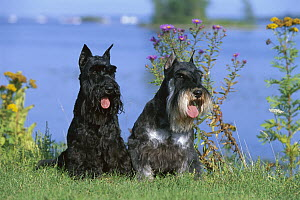 Miniature Schnauzer (Canis familiaris) pair sitting in front of water - Mark Raycroft