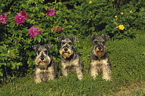 Miniature Schnauzer (Canis familiaris) group of three with natural ears - Mark Raycroft