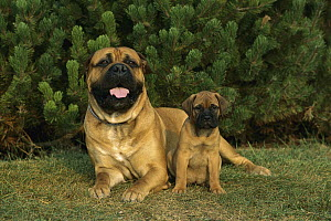 Bullmastiff (Canis familiaris) adult and puppy - Mark Raycroft