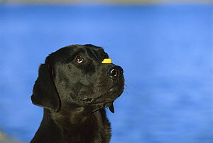 Black Labrador Retriever (Canis familiaris) balancing treat on snout  -  Mark Raycroft
