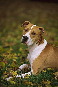 American Pit Bull Terrier (Canis familiaris) laying in grass  -  Mark Raycroft