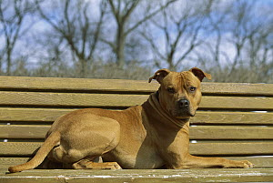 American Pit Bull Terrier (Canis familiaris) laying on park bench - Mark Raycroft