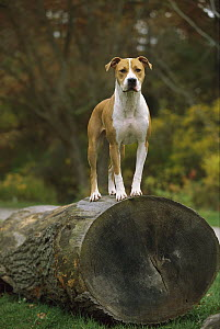 American Pit Bull Terrier (Canis familiaris) standing on large log  -  Mark Raycroft