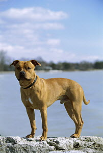American Pit Bull Terrier (Canis familiaris) portrait by water  -  Mark Raycroft