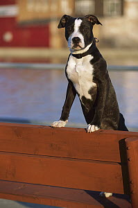 American Pit Bull Terrier (Canis familiaris) portrait of playful puppy  -  Mark Raycroft