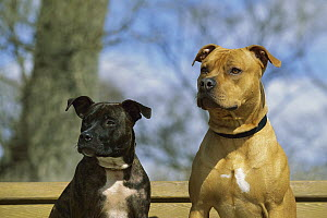 American Pit Bull Terrier (Canis familiaris) portrait of two adults - Mark Raycroft