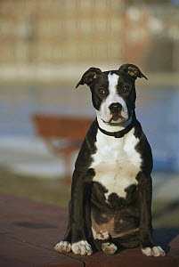 American Pit Bull Terrier (Canis familiaris) puppy  -  Mark Raycroft